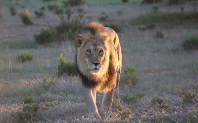 Tour 59B: 8 Day Kalahari Lion & Other Predators Camping Tour
