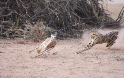 Tour 59A: 8 Day Kalahari Lion & Other Predators Chalet Tour