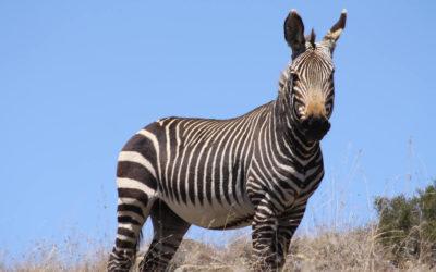 Tour 36: 18 Day Kalahari – Port Elizabeth – Cape Town Wildlife & Coastal Parks Tour