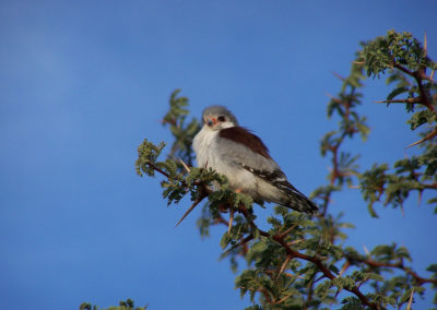 Tour 05 - Kgalagadi Birding - Pygmy Falcon