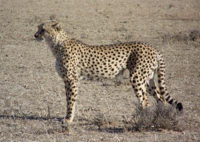 Tour 13 - Kgalagadi - Mabuasehube - Kaa 4x4 - Cheetah