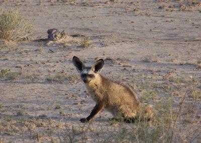Tour 14 - Kgalagadi & Kaa Kalahari Concession - Bat-eared fox