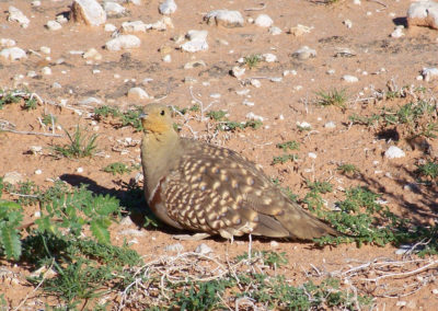 Tour 17 - Witsand Nature Reserve - Namaqua Sandgrouse