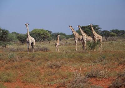 Tour 19 - Mokala - Witsand - Giraffe