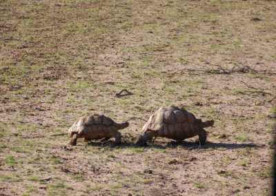 Tour 19 - Mokala - Witsand - Leopard Tortoise