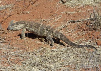 Tour 19 - Mokala - Witsand - Monitor Lizard
