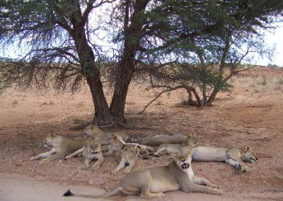 Tour 22 - Four Deserts - Kgalagadi Lions