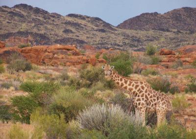 Tour 36 - Kalahari - PE - Cape Town - Giraffe, Augrabies Falls - Copy