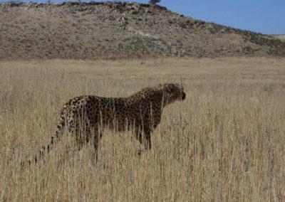 Tour 36 - Kalahari - PE - Cape Town - Hunting Cheetah, Kgalagadi Park - Copy