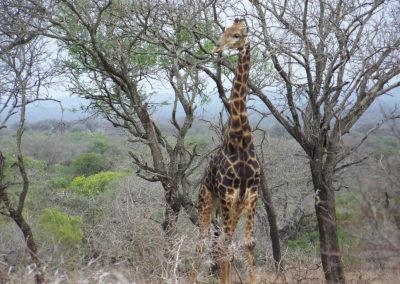 Tour 45 - KwaZulu -Natal & Kruger - Giaffe, Mkuze Game Reserve
