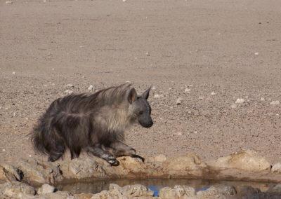 Tour 48 - Kgalagadi - Namib - Etosha - Brown Hyena, Kgalagadi Park