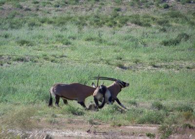 Tour 49 - Kgalagadi - Namibia - Botswana - Gemsbok fighting,Kgalagadi Park
