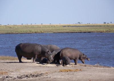 Tour 50 - Namibia - Botswana - Hippo, Chobe Park