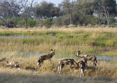 Tour 52 - Northern South Africa - Botswana - Wild dogs, Khwai