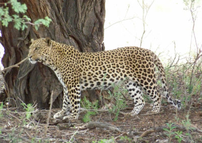 Tour 53 - South & Central Botswana - Leopard near Rooiputs, Kgalagadi Park