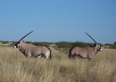 Tour 54 - Botswana Camping Safari - Gemsbok, Central Kalahari Game Reserve
