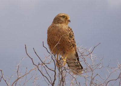 Tour 60 - Kalahari Raptor Tour - Greater Kestrel