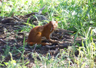 Tour 61 - Kalahari Meerkat Tour - Slender Mongoose