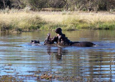Tour 69 - Botswana Tigerfishing - Hippo, Khwai River