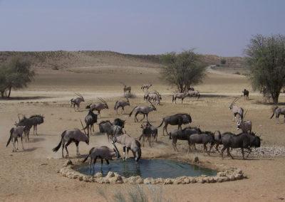 Tour 32 - Kalahari - Diamond Coast 4x4 Tour - Gemsbok & Wildebeest, Kgalagadi Park