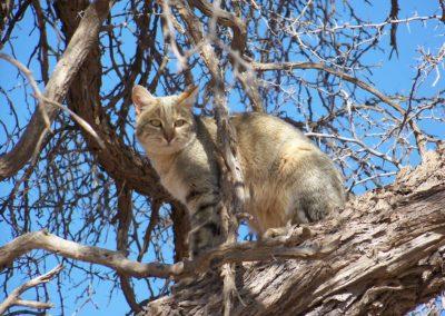 Tour 33 - Kalahari - Diamond Coast 4x4 Tour - African Wild Cat, Kgalagadi - Copy