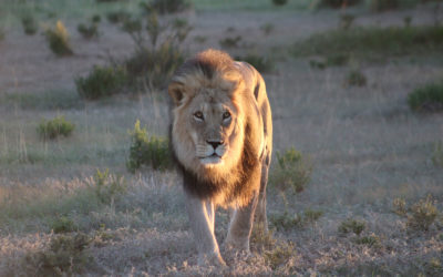 Tour 59B: 8 Day Kalahari Lion & Other Predators Camping Tour