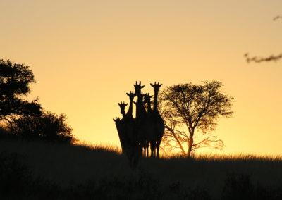 Kalahari Tours & Travel | tour operating company | guided tours | Green Kalahari | Northern Cape | South Africa | tailor-made tours | 4x4 | self drive convoy tours | Kalahari Desert | Wildlife Parks & Reserves | responsible tourism | accommodation | bed and breakfast | Upington | South Africa | Swaziland | Namibia | Botswana | Zimbabwe | Wildlife | Game viewing | South African Preditors | Cammspannen | Mazurka Waters | De Duine B&B