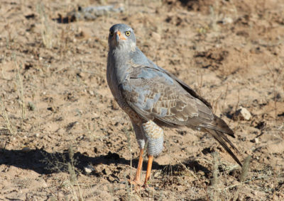 Pale chanting goshawk (Sub-adult)
