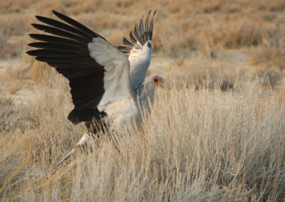 Secretary bird hunting