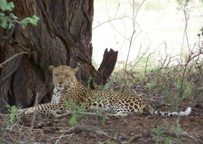 Tour 01 - Kgalagadi Transfrontier Park - Leopard