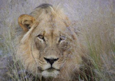 Tour 01 - Kgalagadi Transfrontier Park - Lion