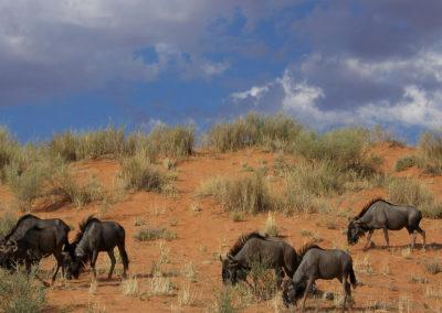 Tour 02 - Kgalagadi Transfrontier Park - Blue Wildebeest - Copy