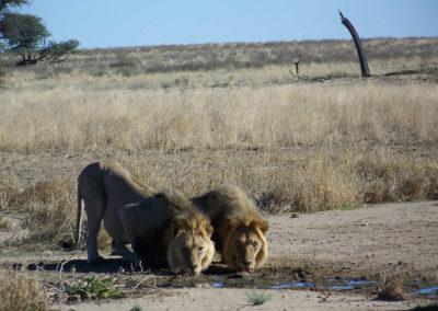 Tour 02 - Kgalagadi Transfrontier Park - Lions at Polentswa Waterhole - Copy