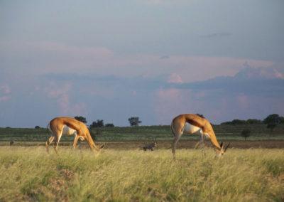 Tour 02 - Kgalagadi Transfrontier Park - Springbok