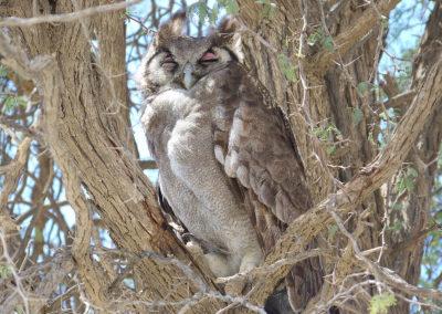 Tour 03 - Kgalagadi Wilderness Camps - Giant Eagle Owl