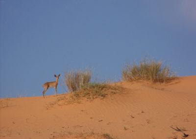 Tour 04 - Kgalagadi Transfrontier Park - Xaus Lodge - Steenbok