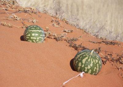 Tour 04 - Kgalagadi Transfrontier Park - Xaus Lodge - Tsamma Melon
