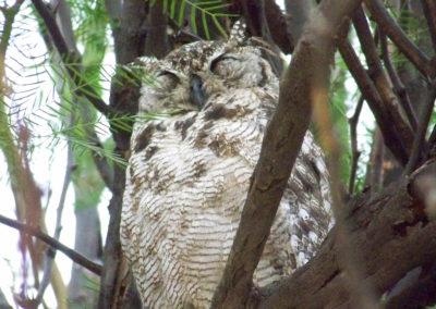 Tour 05 - Kgalagadi Birding - Giant Eagle Owl in Nossob Camp