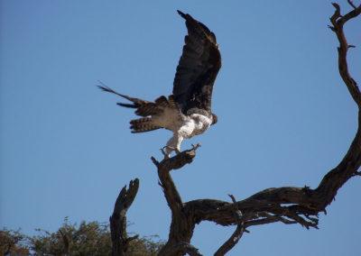 Tour 05 - Kgalagadi Birding - Marshall Eagle