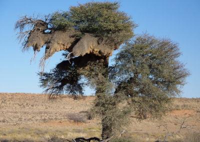 Tour 05 - Kgalagadi Birding - Sociable Weaver Nest