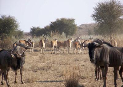 Tour 06 - Kgalagadi - Augrabies Wildebeest & Eland
