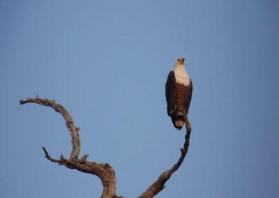 Tour 07 - Kgalagadi - Augrabies - Witsand - African Fish Eagle