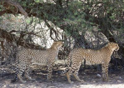 Tour 07 - Kgalagadi - Augrabies - Witsand - Cheetah
