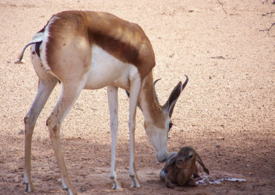 Tour 07 - Kgalagadi - Augrabies - Witsand - Springbok with newborn lamb