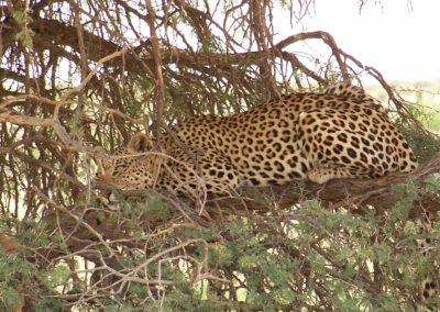 Tour 08 - Kgalagadi - Mokala - Leopard Kgalagadi - Copy