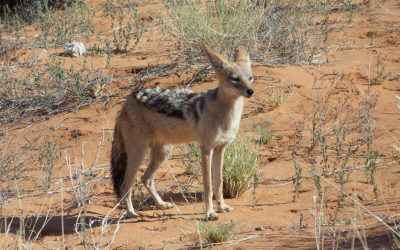 Tour 11: 6 Day Kgalagadi – Polentswa Wilderness 4×4 Trail