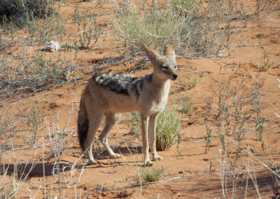 Tour 11 - Kgalagadi Polentswa Wilderness 4x4 - Black-backed Jackal