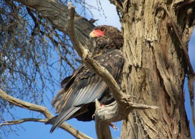 Tour 12 - Kgalagadi - Mabuasehube 4x4 - Bateleur Eagle