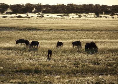 Tour 12 - Kgalagadi - Mabuasehube 4x4 - Blue Wildebeest Monamodi Pan