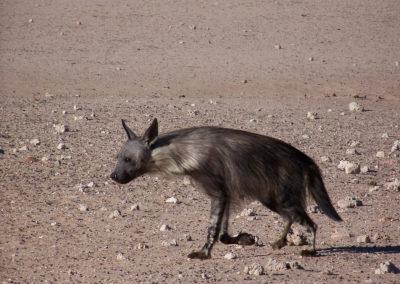 Tour 12 - Kgalagadi - Mabuasehube 4x4 - Brown Hyena